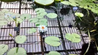 Symbols-The Beautiful Water Lilly