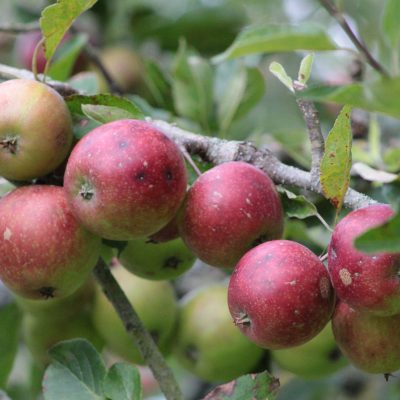 apples for the apple pie
