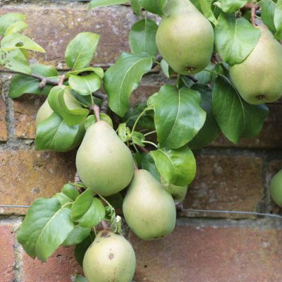 pears ready to ick for desert